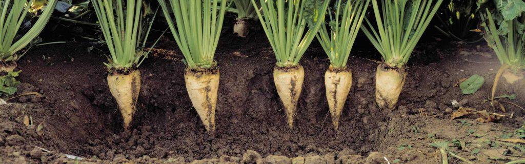 Listová výživa a stimulácia cukrovej repy