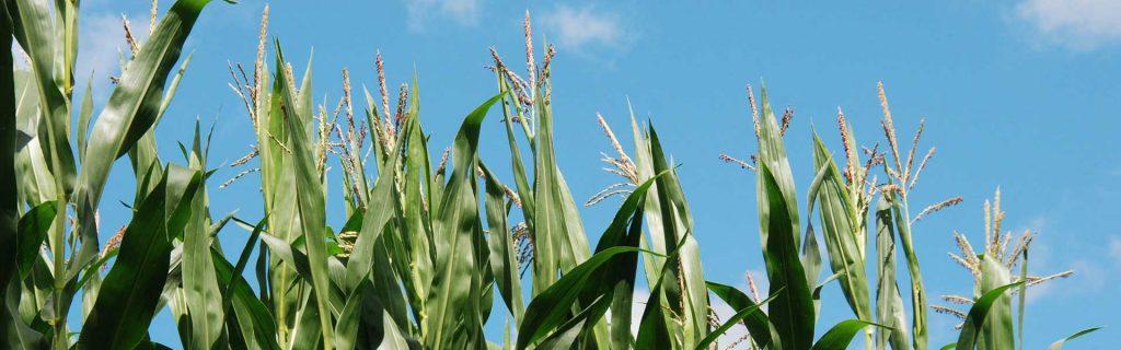 Efektívna výživa kukurice a slnečnice