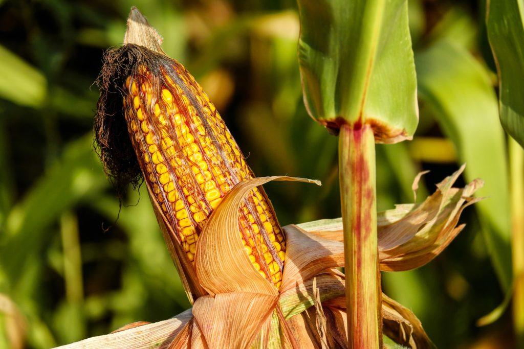 Riešenia vo výžive a stimulácii kukurice a slnečnice