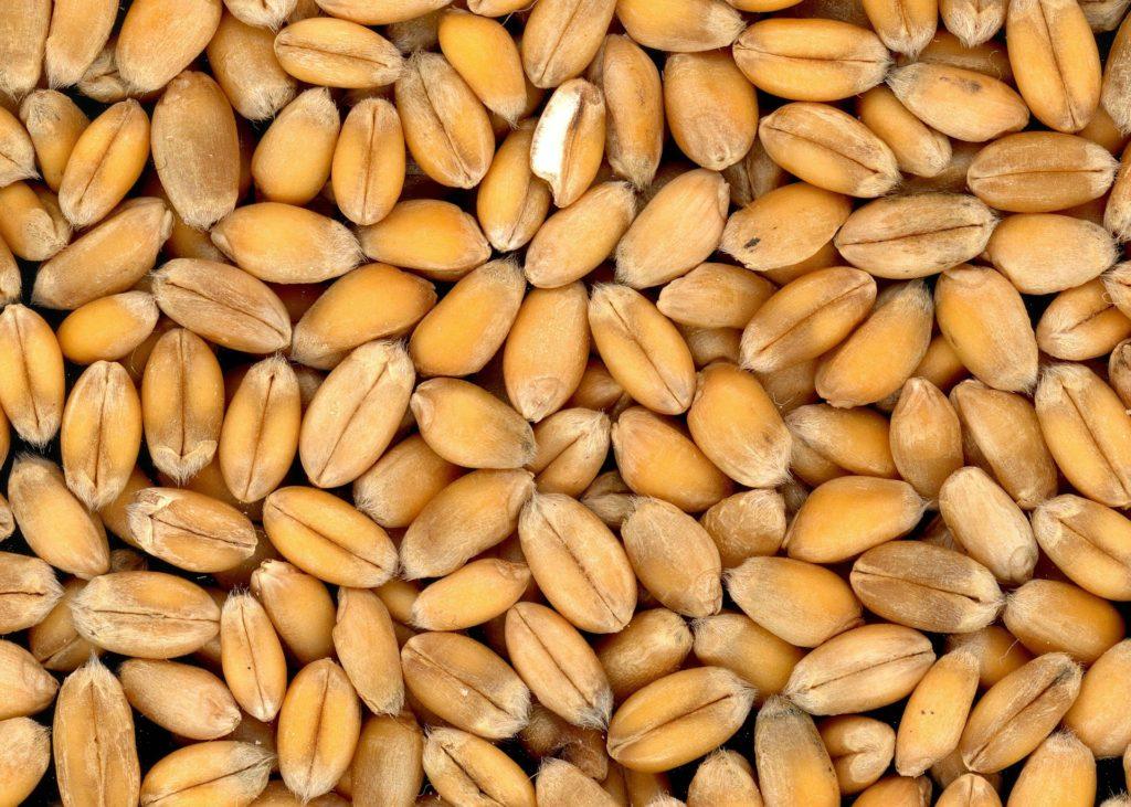 Ako zvýšiť rentabilitu pestovania pšenice ozimnej ?